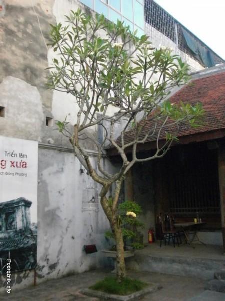 Wietnam - Hanoi - kwiecień 2012 - drzewo na którym rożnie żółty storczyk