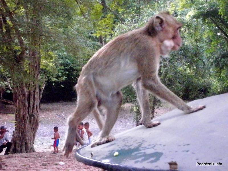 Kambodża - Siem Reap - maj 2012 - małpa