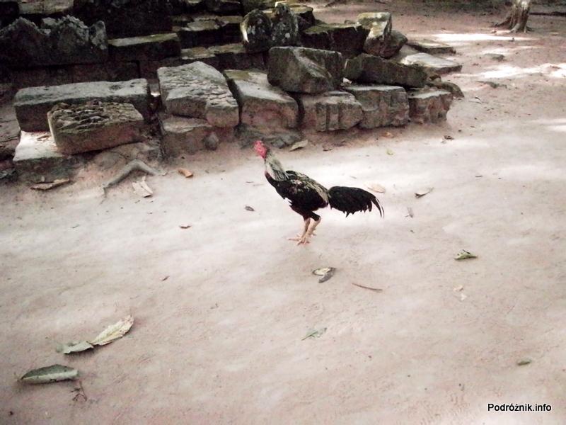 Kambodża - Siem Reap - maj 2012 - malutki kogut