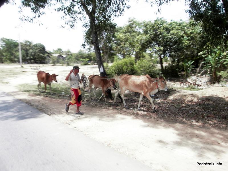 Kambodża - Siem Reap - maj 2012 - bydło