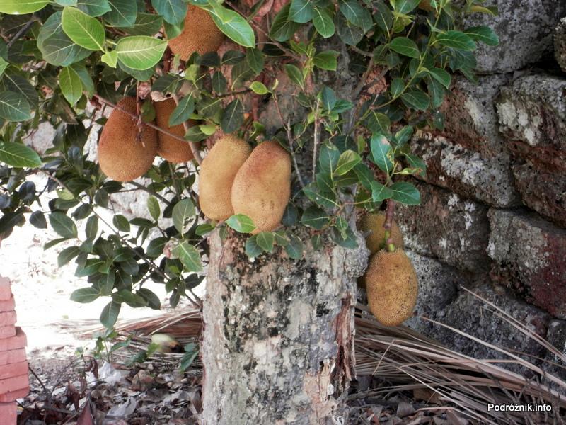 Kambodża - Siem Reap - maj 2012 - owoce durian wiszące na drzewie