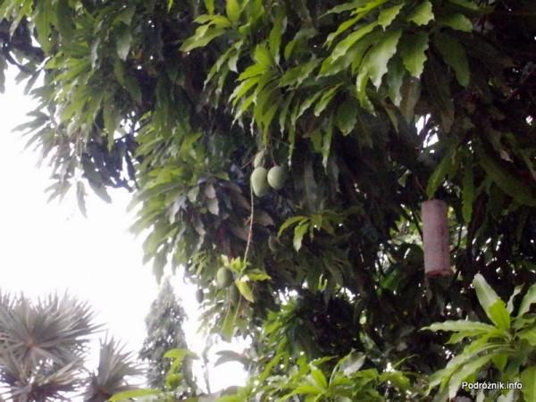 Kambodża - Siem Reap - maj 2012 - owoce mango na drzewie