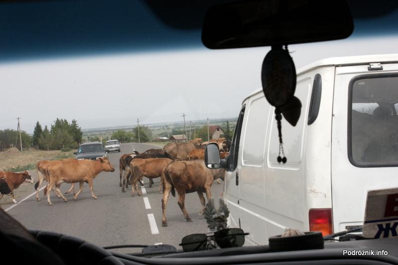 Gruzja - sierpień 2012 - bydło na drodze