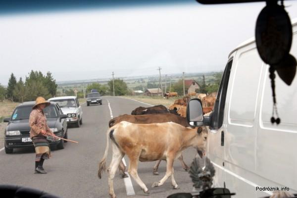 Gruzja - sierpień 2012 - bydło na drodze i poganiaczka