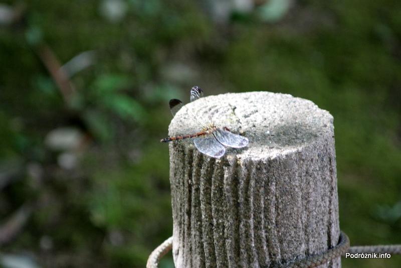Japonia - Narita - ważka w japońskim ogrodzie niedaleko Naritasan-Shinshoji Temple - sierpień 2012