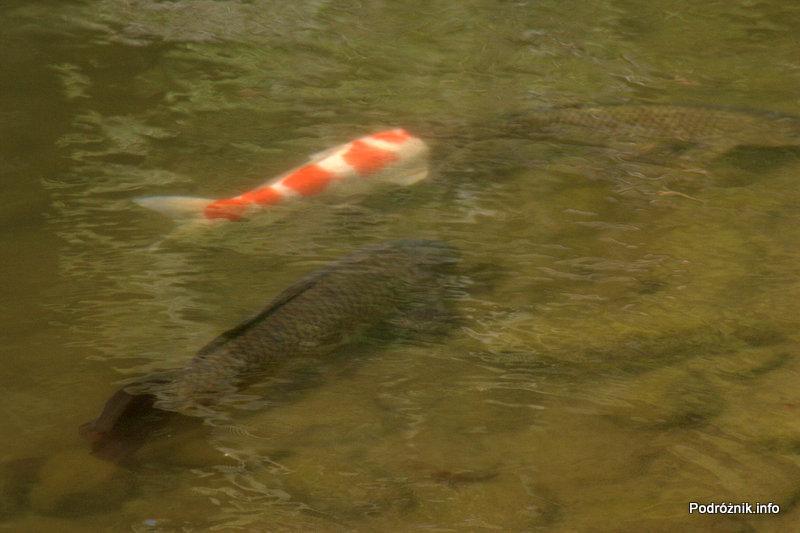 Japonia - Narita - ryby w japońskim ogrodzie niedaleko Naritasan-Shinshoji Temple - sierpień 2012