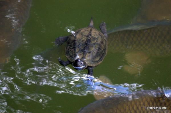 Japonia - Narita - żółw i ryby w japońskim ogrodzie niedaleko Naritasan-Shinshoji Temple - sierpień 2012