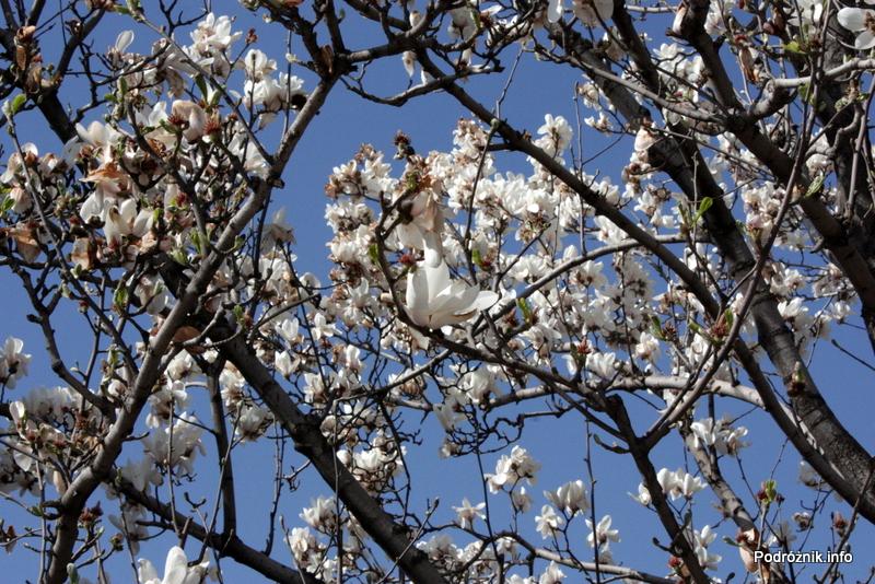 Chiny - Pekin - kwiaty na drzewie - kwiecień 2013