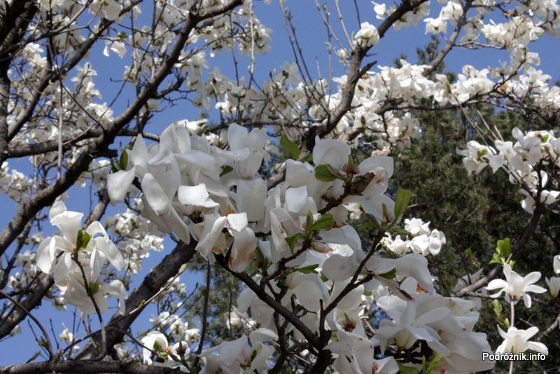 Chiny - Pekin - zbliżenie na kwiaty na drzewie - kwiecień 2013