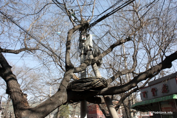 Chiny - Pekin - nadmiar kabla zwinięty na drzewie - kwiecień 2013