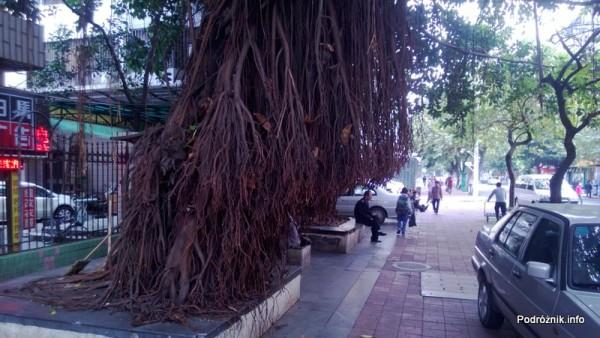 Chiny - Shenzhen - drzewa z korzeniami na zewnątrz - kwiecień 2013