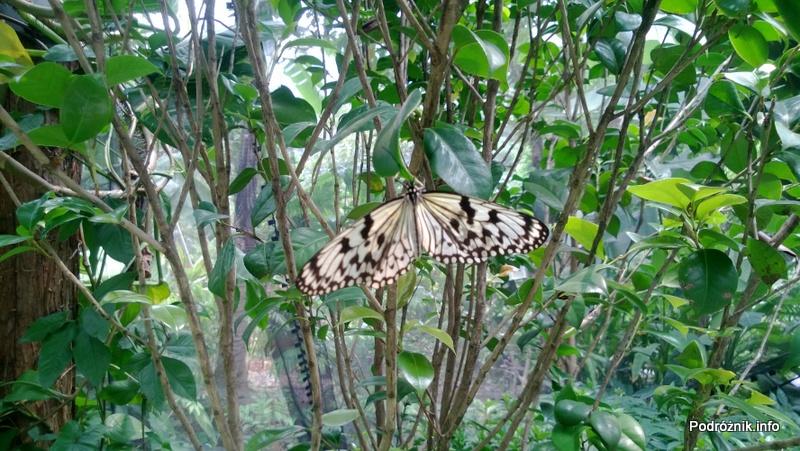 Chiny - Shenzhen - ogród botaniczny - część z motylami i orchideami - motyl - kwiecień 2013