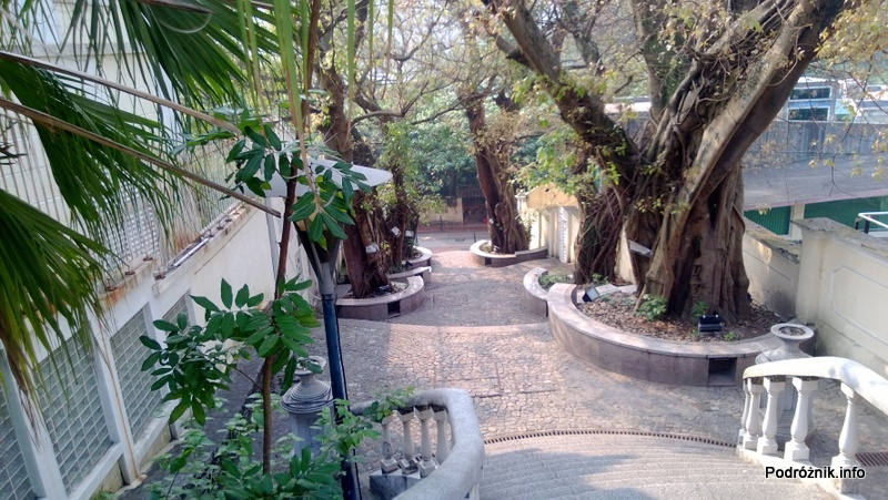 Chiny - Makao - Taipa - Ficus rumphii - kwiecień 2013
