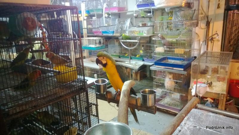 Chiny - Hongkong - papuga na wystawie sklepu zoologicznego - kwiecień 2013