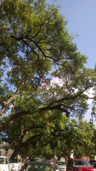 USA - Nowy Orlean - korony starych dębów przy Louisiana Ave - czerwiec 2013