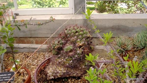 USA - Nowy Orlean - Ogród Botaniczny - Gymnocalycium saglionis - czerwiec 2013