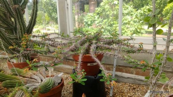USA - Nowy Orlean - Ogród Botaniczny - Euphorbia - czerwiec 2013