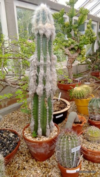 USA - Nowy Orlean - Ogród Botaniczny - Pilosocereus leucocephalus - czerwiec 2013