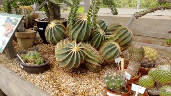 USA - Nowy Orlean - Ogród Botaniczny - Parodia magnificus - czerwiec 2013
