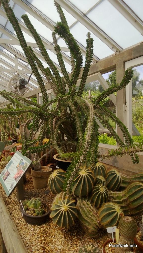 USA - Nowy Orlean - Ogród Botaniczny - powyżej Alluaudia poniżej Parodia magnifica - czerwiec 2013
