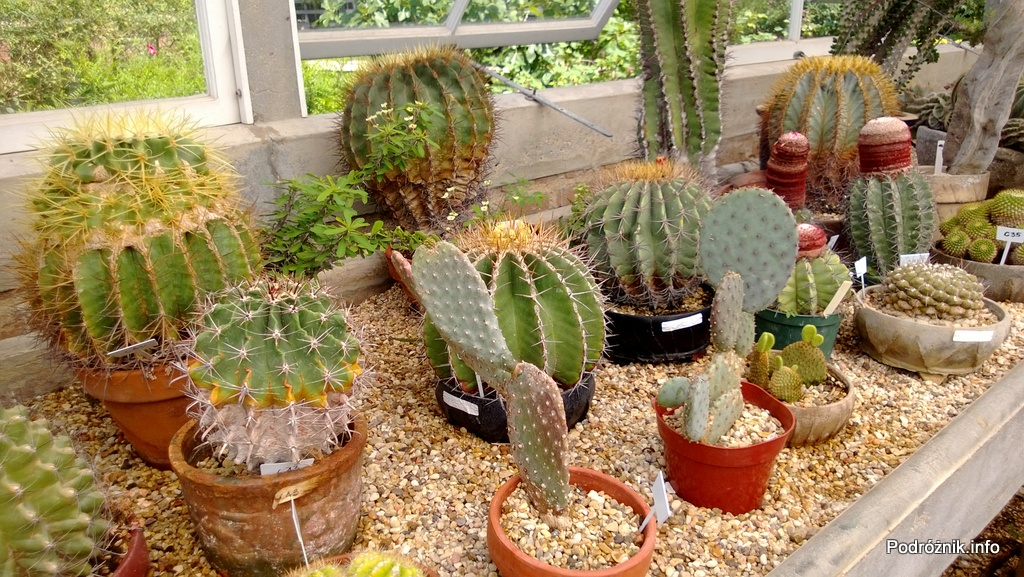 USA - Nowy Orlean - Ogród Botaniczny - kaktusy kuliste - czerwiec 2013