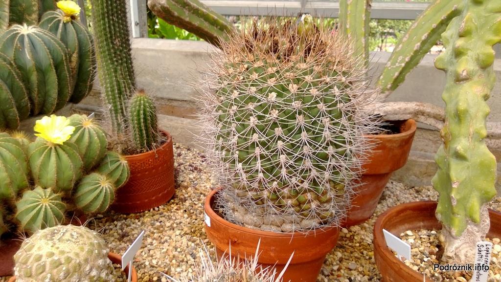 USA - Nowy Orlean - Ogród Botaniczny - kaktus - czerwiec 2013