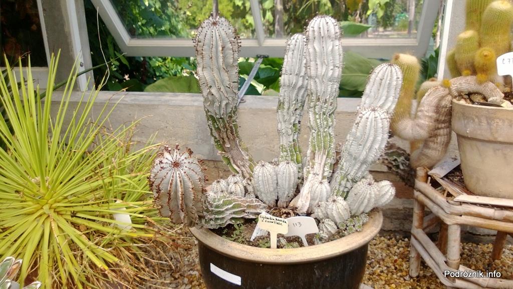 USA - Nowy Orlean - Ogród Botaniczny - Euphorbia horrida snowflake - czerwiec 2013