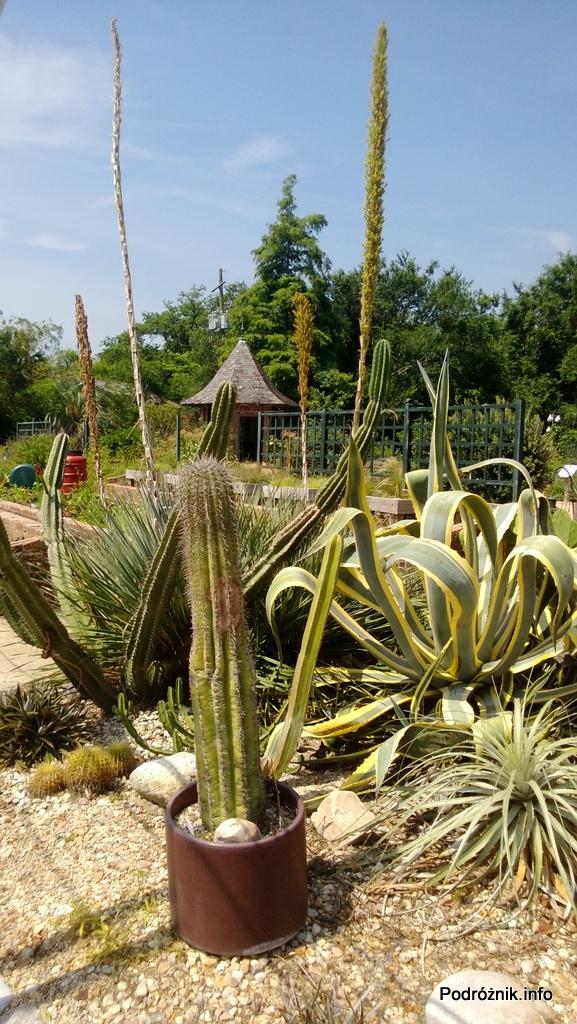 USA - Nowy Orlean - Ogród Botaniczny - duże kaktusy - czerwiec 2013