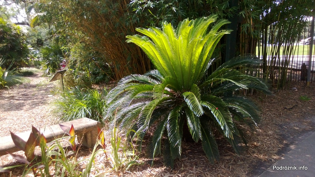 USA - Nowy Orlean - Ogród Botaniczny - pióropusz małej palmy - czerwiec 2013