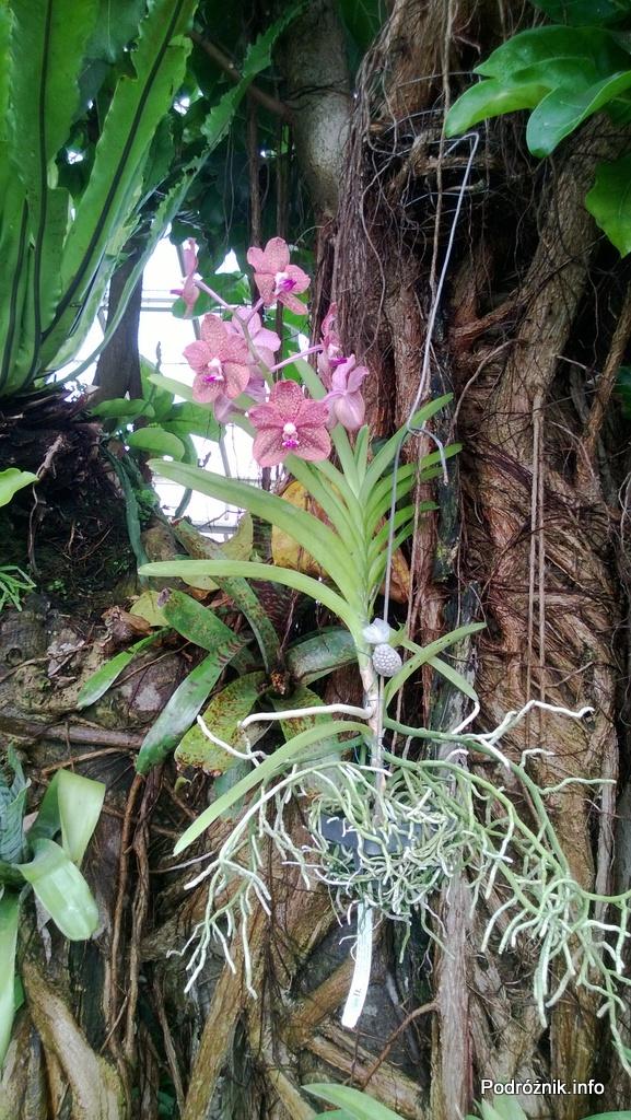 USA - Nowy Orlean - Ogród Botaniczny - tropikalny las deszczowy - storczyk wiszący na drzewie - czerwiec 2013