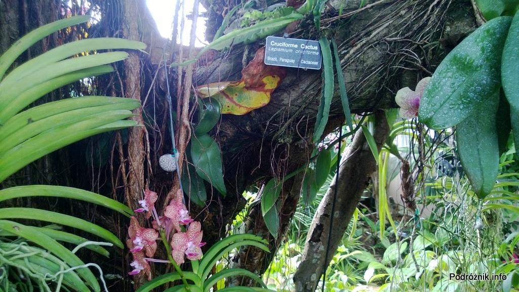 USA - Nowy Orlean - Ogród Botaniczny - tropikalny las deszczowy - storczyki wiszące na drzewie - czerwiec 2013