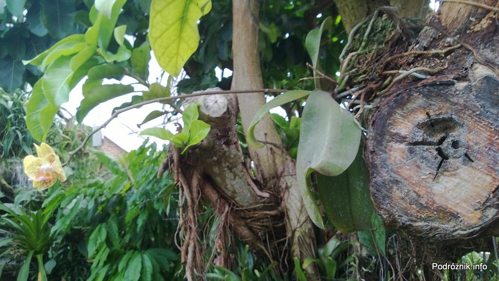 USA - Nowy Orlean - Ogród Botaniczny - tropikalny las deszczowy - storczyk na pniu drzewa - czerwiec 2013