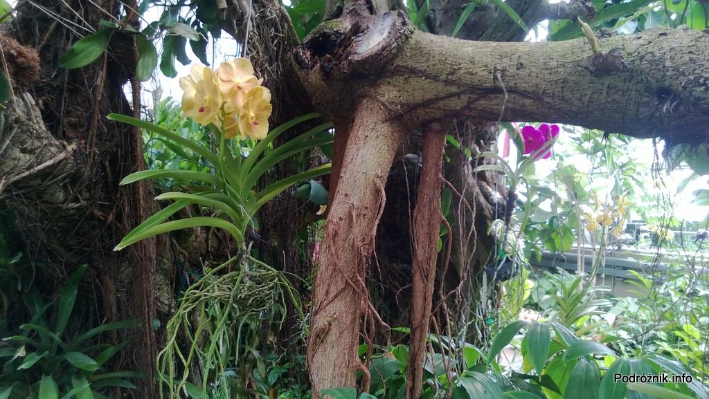 USA - Nowy Orlean - Ogród Botaniczny - tropikalny las deszczowy - powieszone storczyki na drzewie - czerwiec 2013