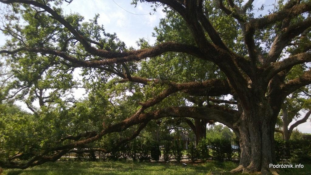 USA - Nowy Orlean - Ogród Botaniczny - obrośnięty dąb - czerwiec 2013