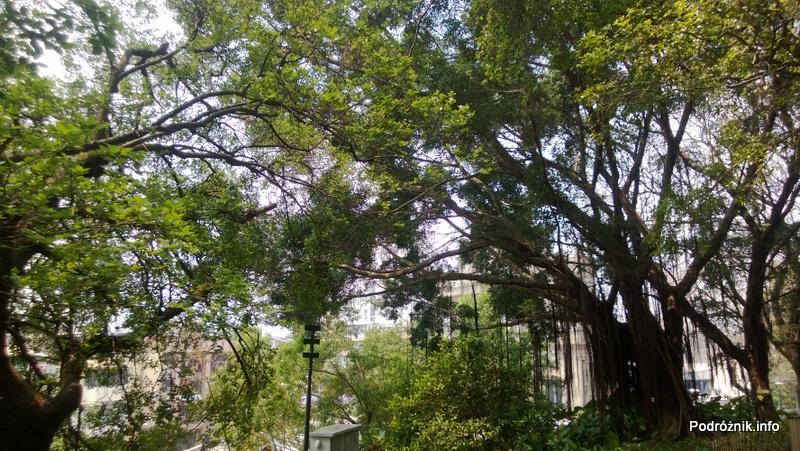 Chiny - Makao - drzewa przy murach twierdzy - kwiecień 2013