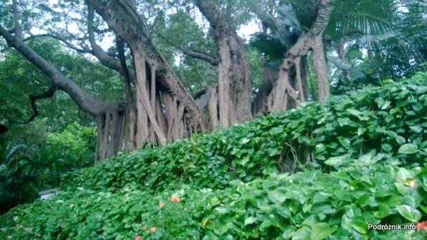Chiny - Hongkong  - Hong Kong Park - drzewa z korzeniami na wierzchu - kwiecień 2013