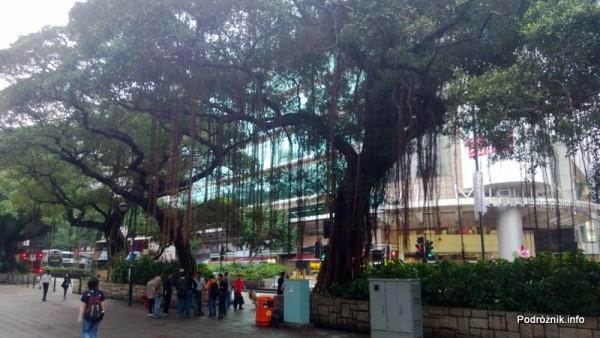 Chiny - Hongkong - Koulun (Kowloon) - piękne stare drzewa przy ulicy - kwiecień 2013