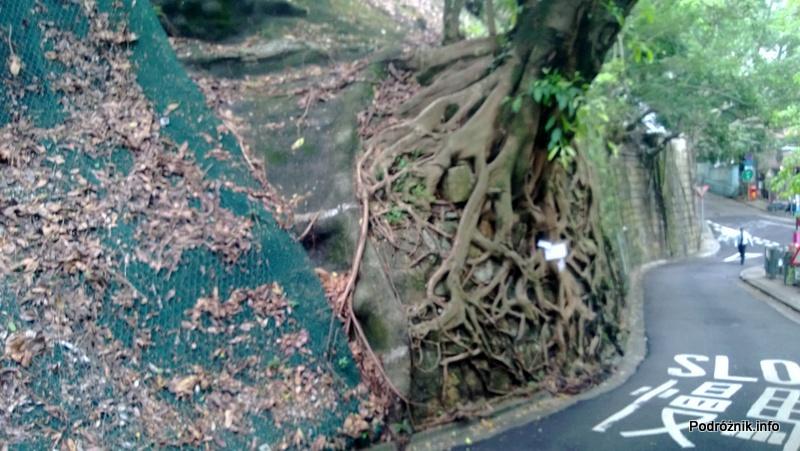 Chiny - Hongkong - Wzgórze Wiktorii - wystające korzenie drzewa - kwiecień 2013