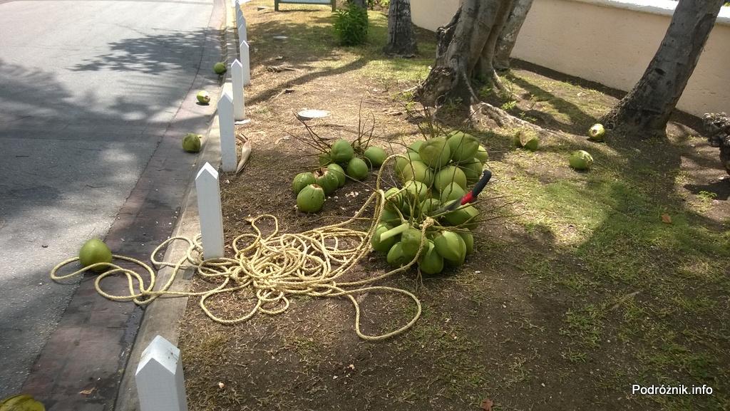 Barbados - kiście kokosów lezące na ziemi - maj 2014