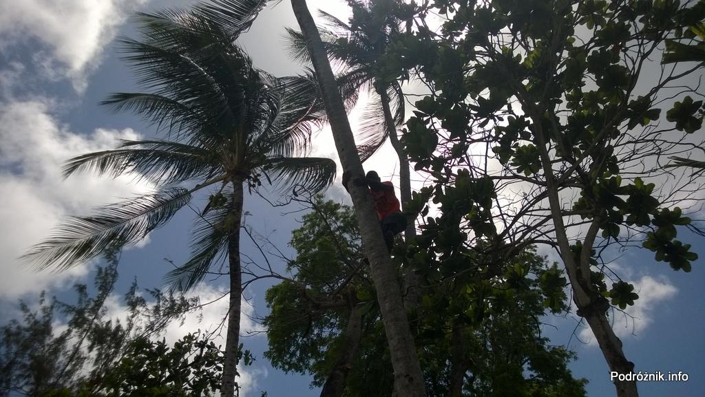 Barbados - lokales na palmie kokosowej - maj 2014