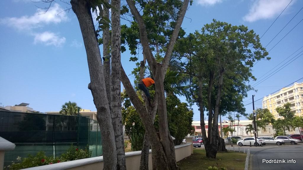 Barbados - lokales schodzący z palmy kokosowej bez zabezpieczeń - maj 2014