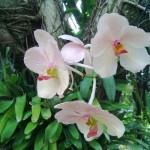 USA - Nowy Orlean - Ogród Botaniczny - tropikalny las deszczowy - ładne storczyki - czerwiec 2013